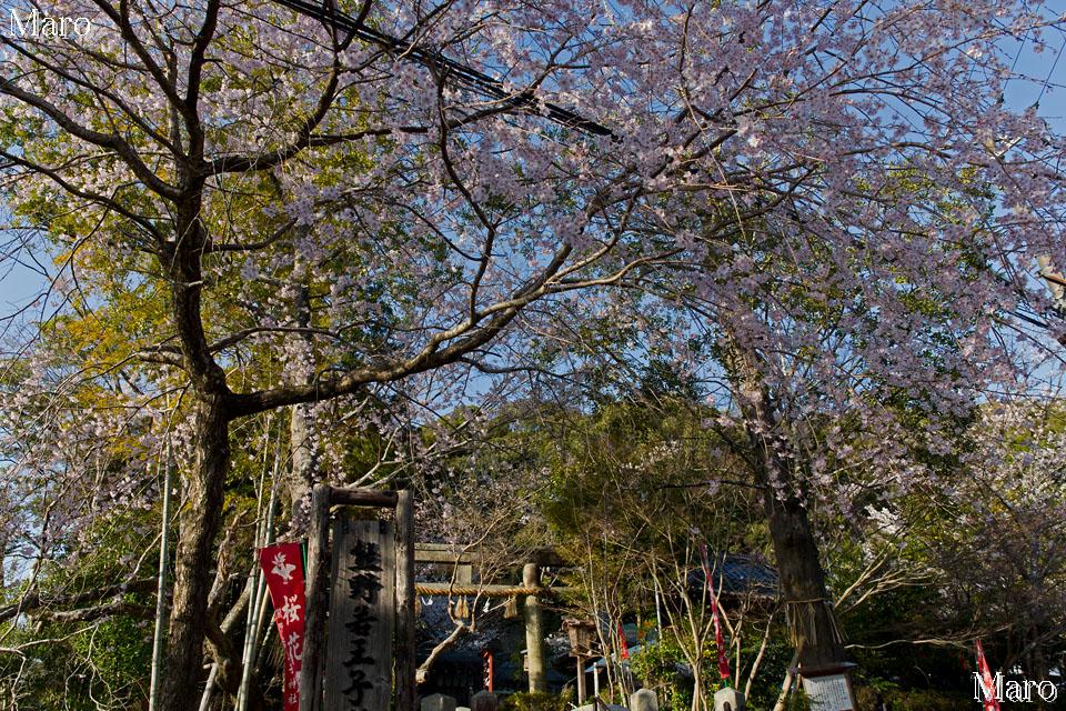 京都東山 熊野若王子神社の桜花苑から陽光と夕日を 2014年4月